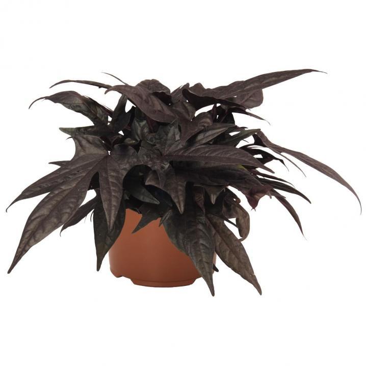 Ipomae floramia black