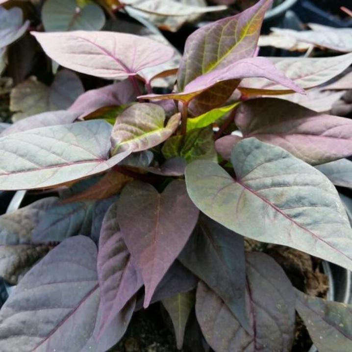 Ipomea floramia rosso 800