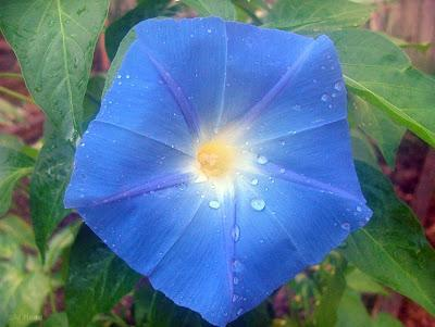 Ipomoea clark s heavenly blue