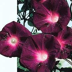 Ipomoea kniolas black night