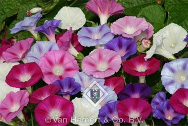 Ipomoea p lazy luxe 1