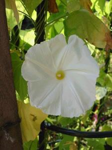Ipomoea pearly gates