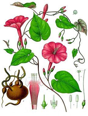 Ipomoea purga kohler s medizinal pflanzen 077