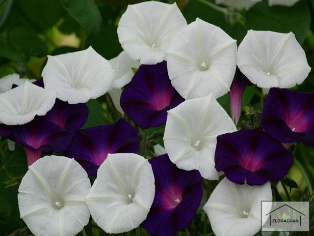 Ipomoea purpurea shadow dance