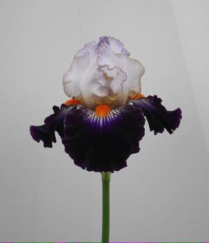 Iris terre a silex