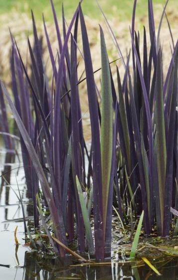 Iris versicolor purple flame