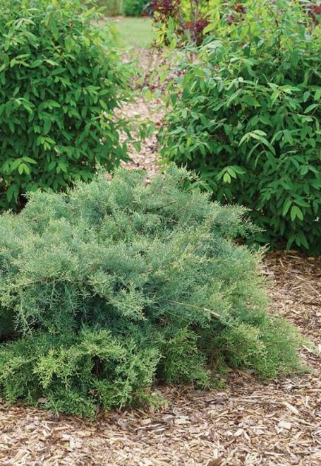 Juniperus chinensis montana moss