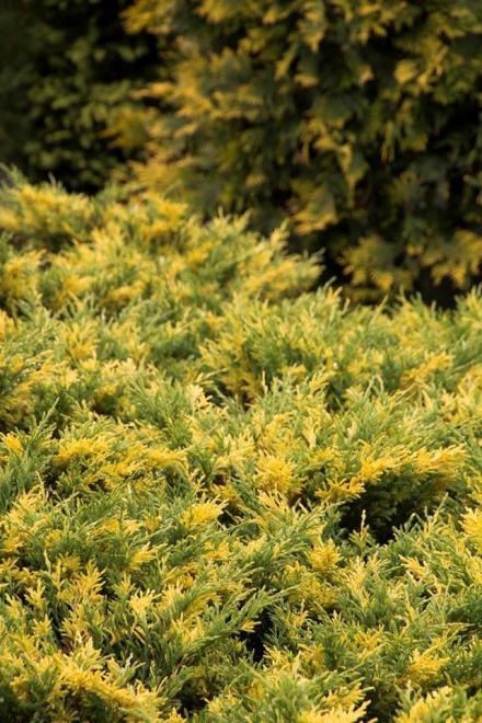 Juniperus horizontalis jazzy jewei