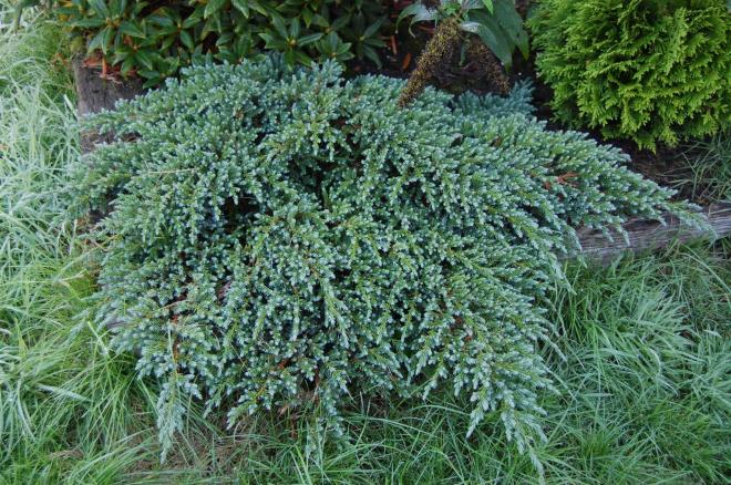 Juniperus squamata little joanna 2jpg