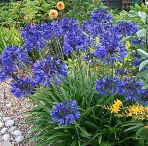 L agapanthus navy blue