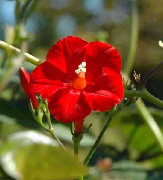 L ipomoea hederifolia