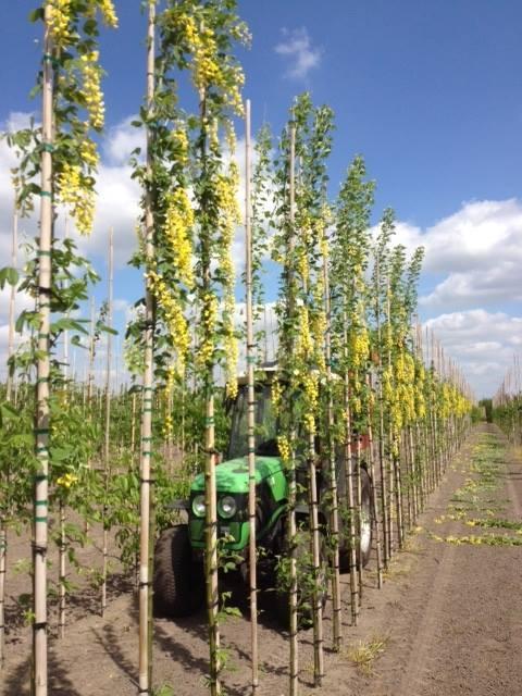 Laburnum anagyroides yellow rocket2jpg
