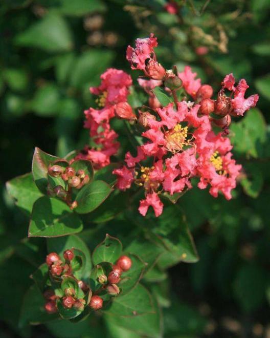 Lagerstroemia bellini raspberry