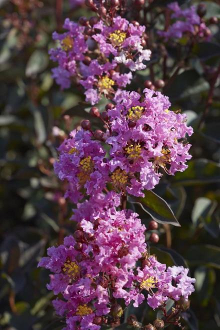 Lagerstroemia black diamond lavender lace