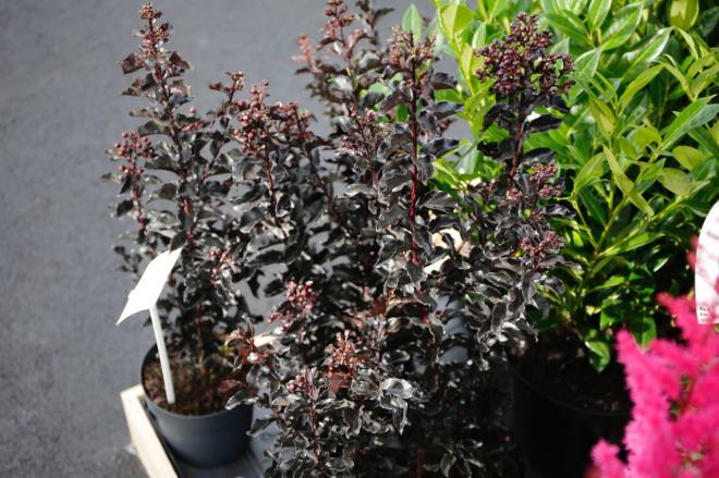 Lagerstroemia black solitaire