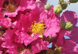 Lagerstroemia speciose big pink photo alan w meerow agricultural research service subtropical horticulture research station 300x207