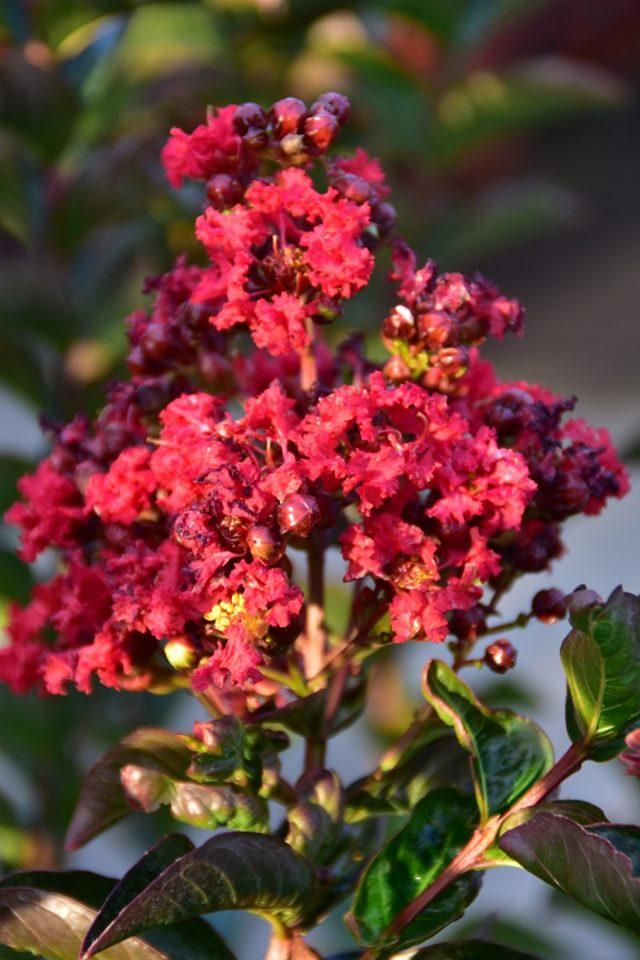 Lagerstroemia x miss frances