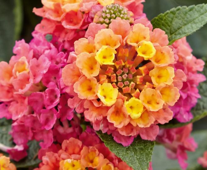 Lantana esperanta compact rose