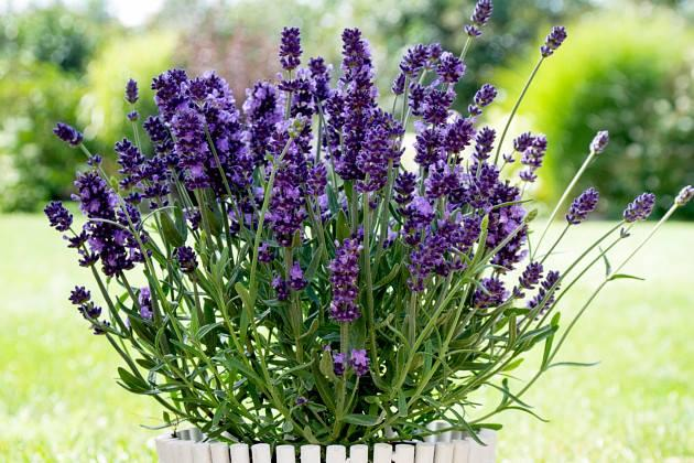 Lavandula angustifolia endless joy j2pg