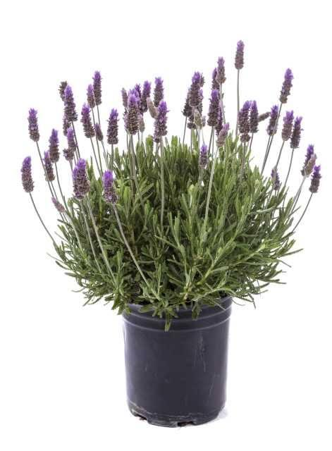 Lavandula dentata paris