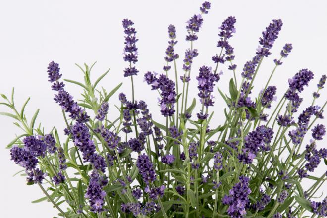 Lavandula per3225 u2019 ardeche blue photo florensis