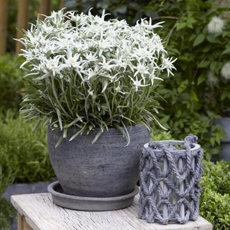 Leontopodium alpinum blossom of snow berghman edelweiss