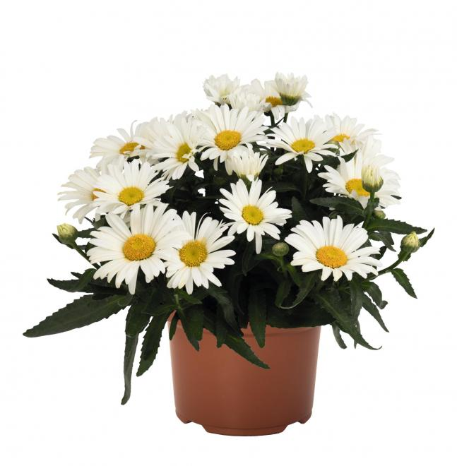 Leucanthemum maximum sweet daisy christine photo dummen orange
