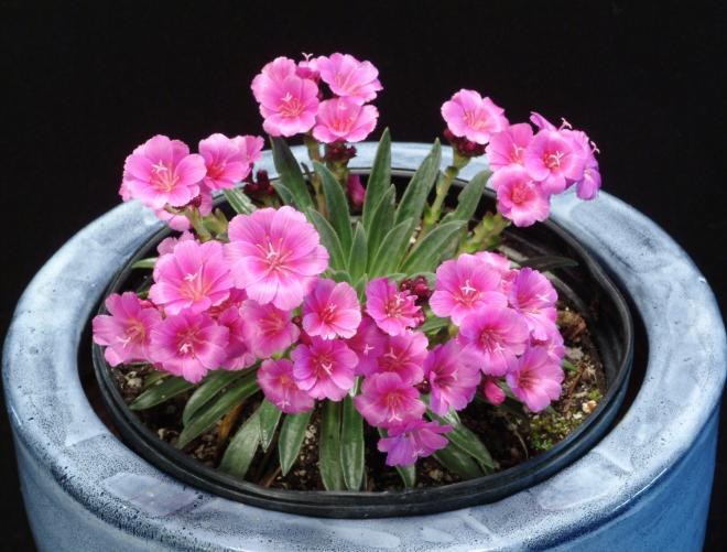 Lewisia constant comment photo terra nova nurseries