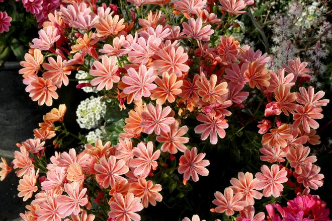 Lewisia constant coral photo terra nova nurseries