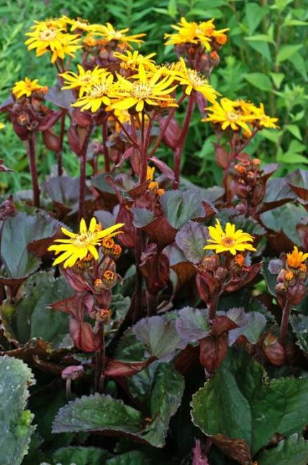 Ligularia dentata bbq banana