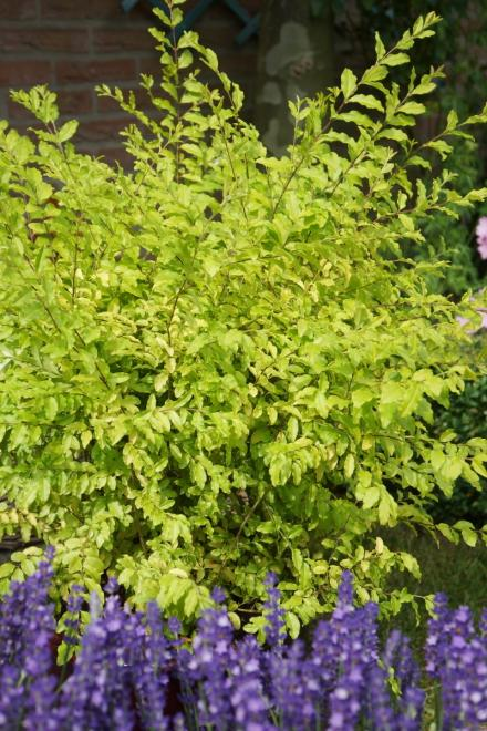 Ligustrum sinensis sunshine photo plantipp