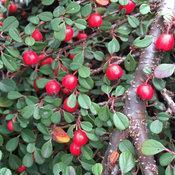 Little dipper cotoneaster fruit