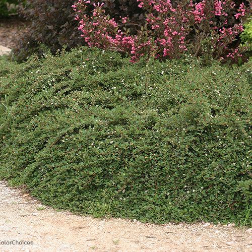 Little dipper cotoneaster landscape