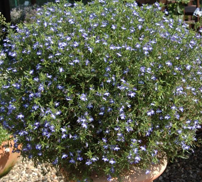 Lobelia laura heavenly blue