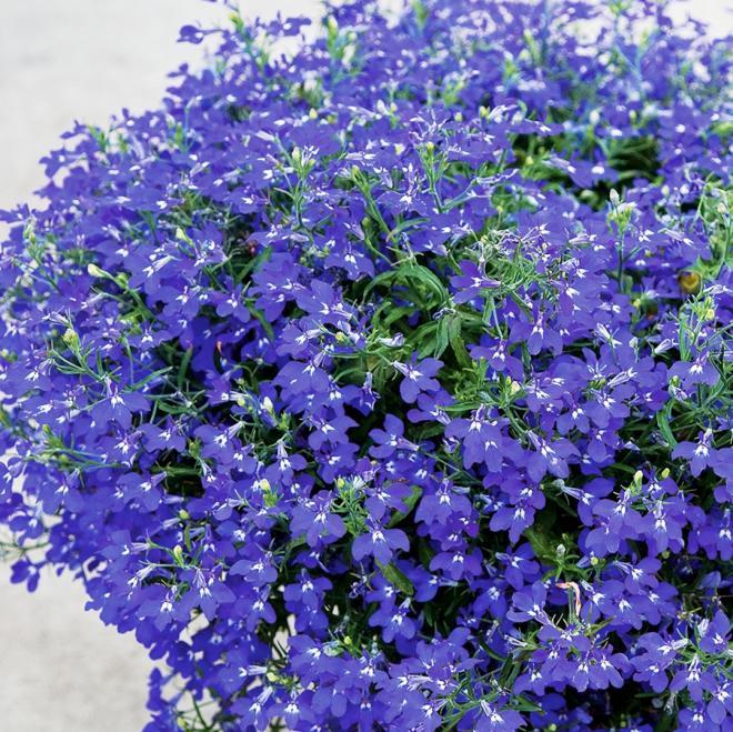 Lobelia laura marine blue