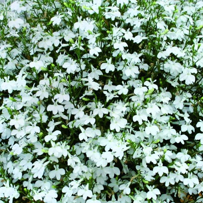 Lobelia laura snow