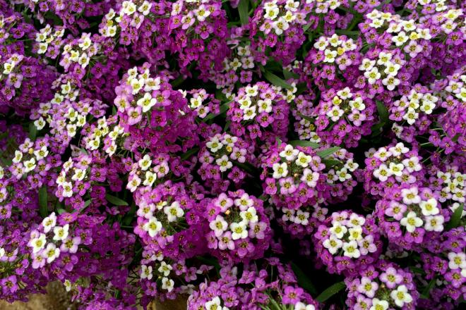 Lobularia bicolor purple awesone