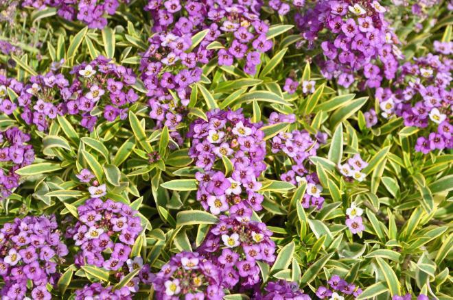 Lobularia marineland frosty lavender