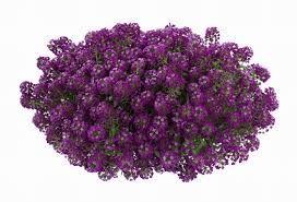 Lobularia stream deep lavender