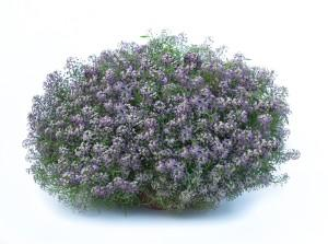 Lobularia stream series bicolor lilac photo danziger dan flower farm 300x223