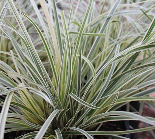 Lomandra longifolia great white