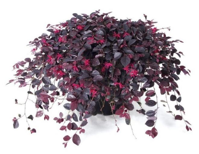 Loropetalum chinense ruby runner u2019 photo plantipp