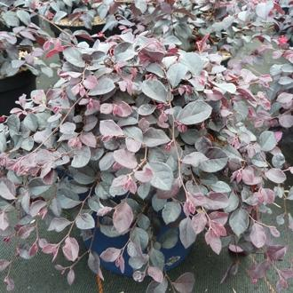 Loropetalum cinense ruby runner sv rouxel