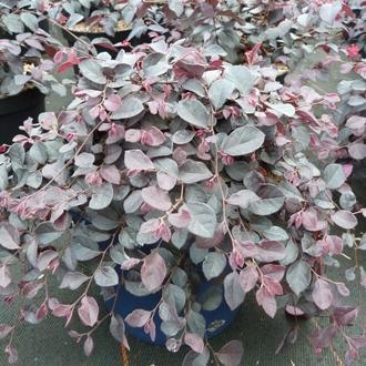 Loropetalum cinense ruby runner sv rouxel