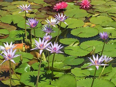 Lotus martel