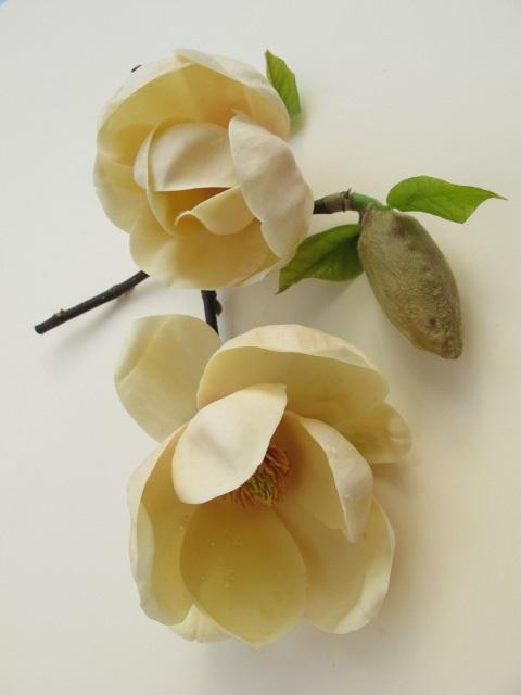 Magnolia honey tulip u2019 photo tikorangi the jury garden