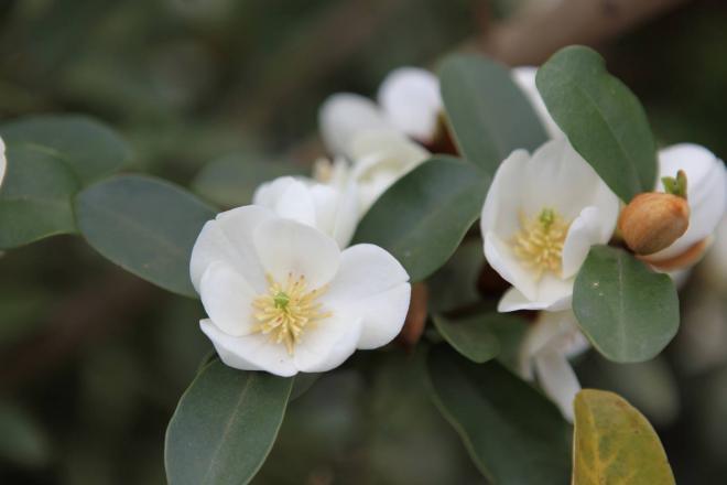 Magnolia laevifolia gail s favorite 1