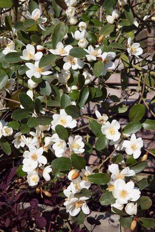 Magnolia laevifolia gail s favorite