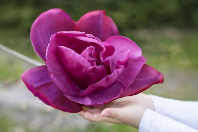 Magnolia meganolia pink