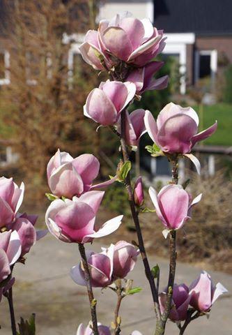 Magnolia x soulangeana cameo